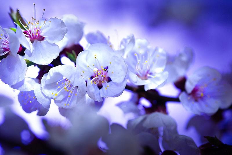 Blossom at Dawn