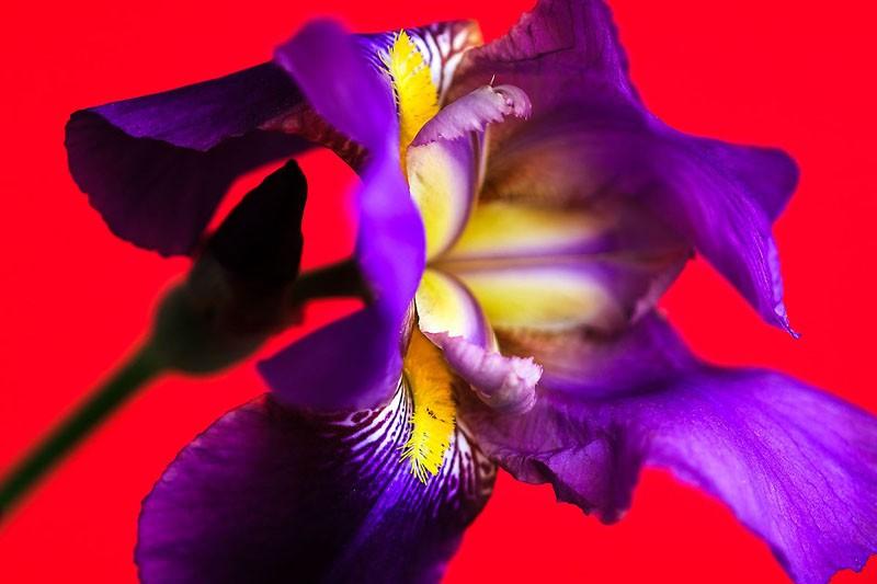 Iris on Red