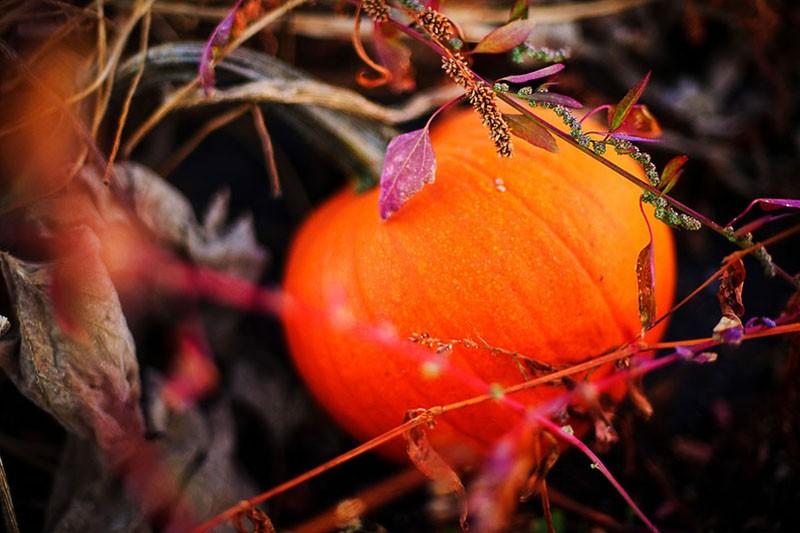 Pumpkin in weeds