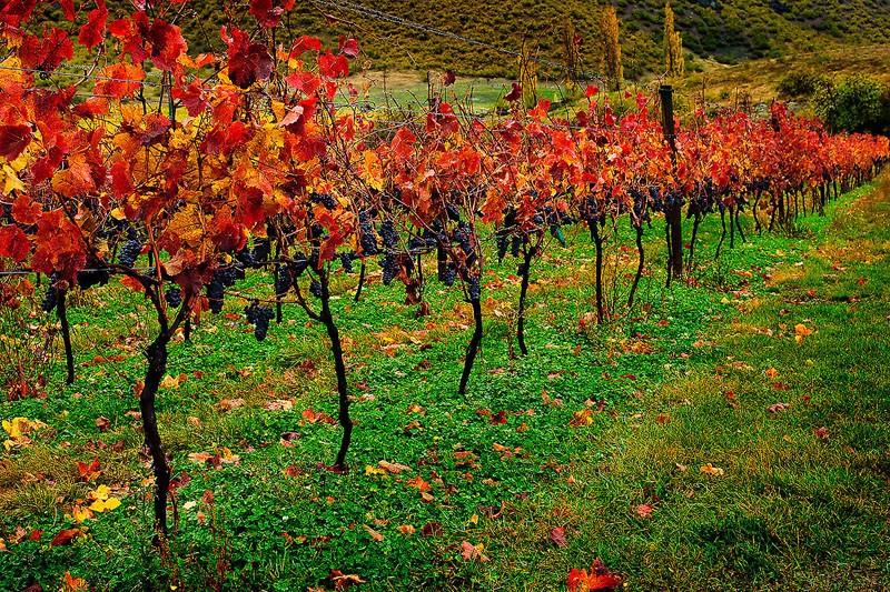 Scarlet Vines