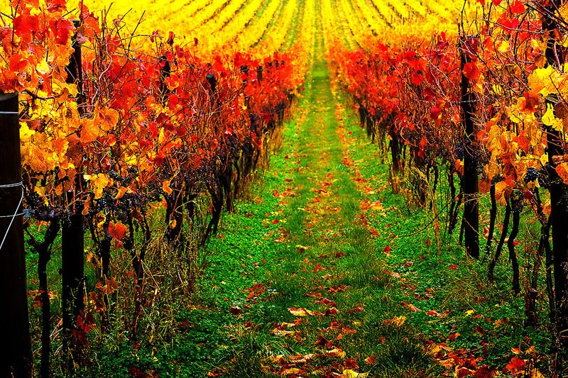 Vines on Fire