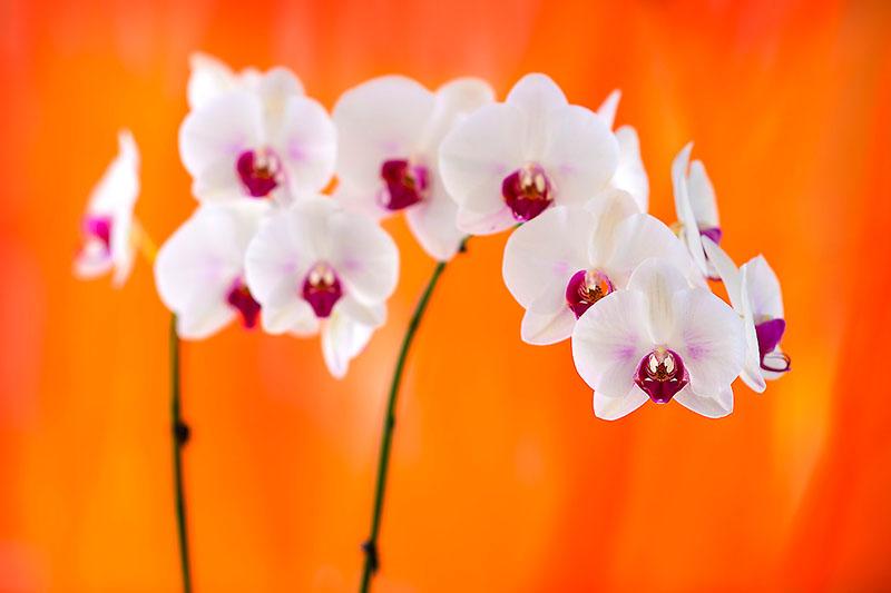Orchid Burst