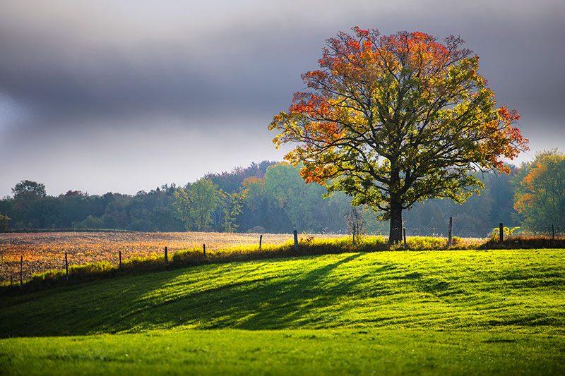 Luminous Oak
